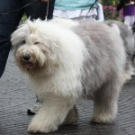 old english sheepdog til hundens dag i tivoli