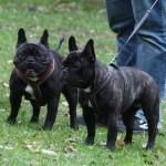 Franske Bulldogs til Bakkeskue