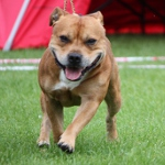 Staffordshire Bull Terrier