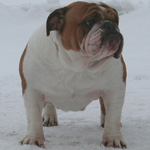 Engelsk Bulldog