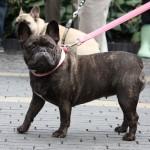 fransk bulldog til hundens dag i tivoli