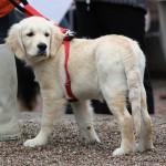 golden retriever hvalp til hundens dag i tivoli