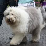 old english sheepdog til hundens dag i tivoli