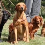 hunde blandt publikum til country days