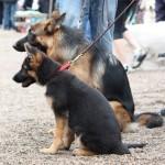 schæfere til hundens dag i tivoli