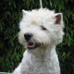 west highland white terrier også kaldet westie