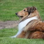 Lassie var af racen langhåret collie