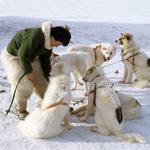 Slædehunde fra Nissebanden i Grønland