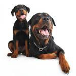 Voksen Rottweiler og Rottweilerhvalp