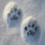 Pas på hundens poter om vinteren