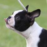 Boston terrier hvalp
