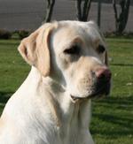 gul labrador retriever